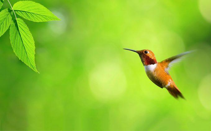 hummingbird wallpaper nature