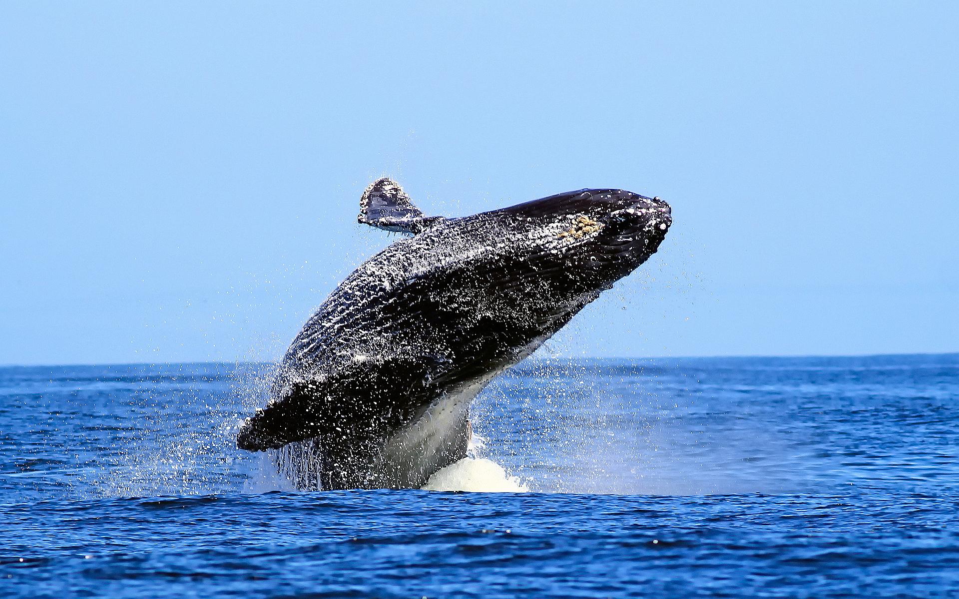 humpback whale wallpaper