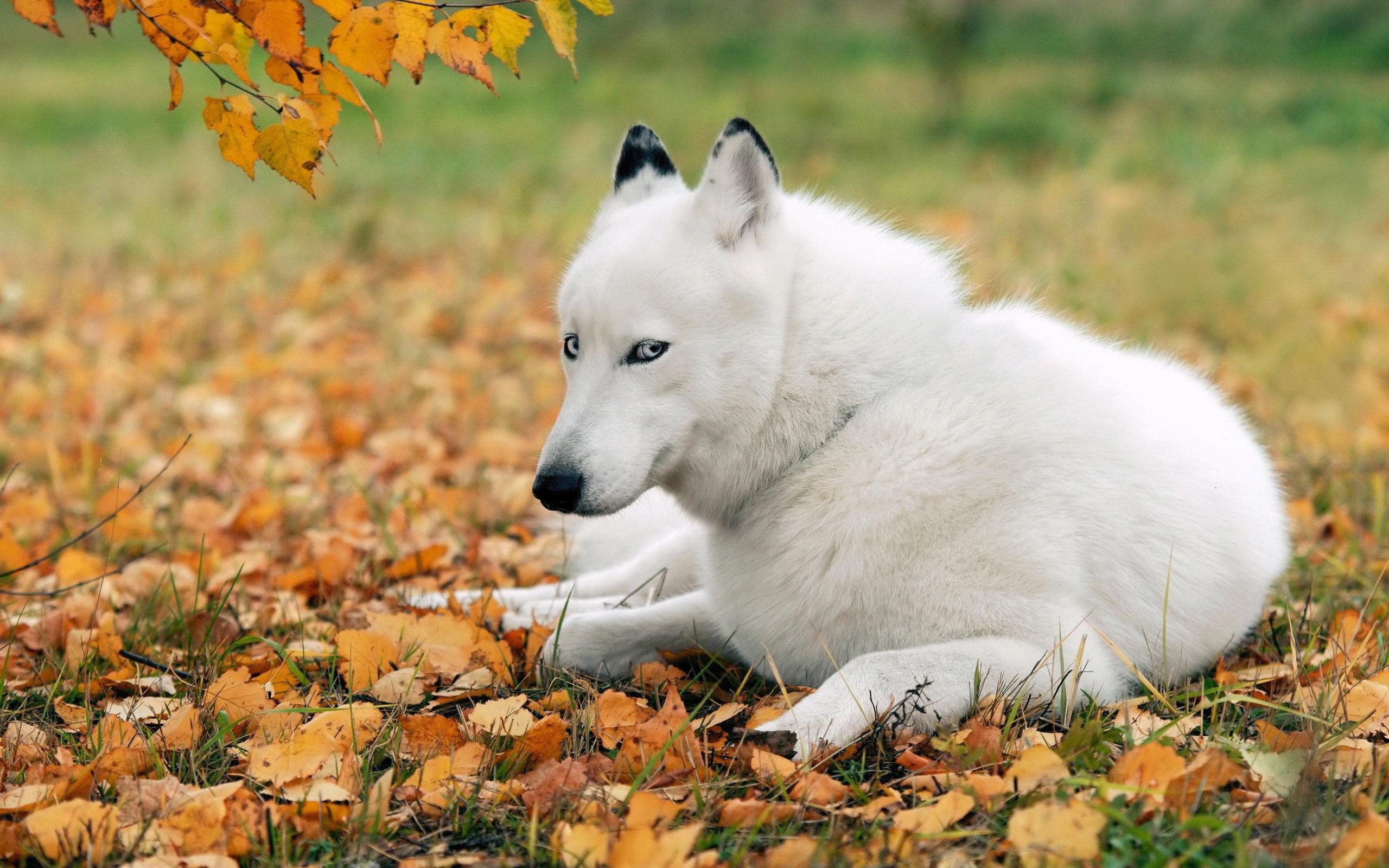 husky autumn