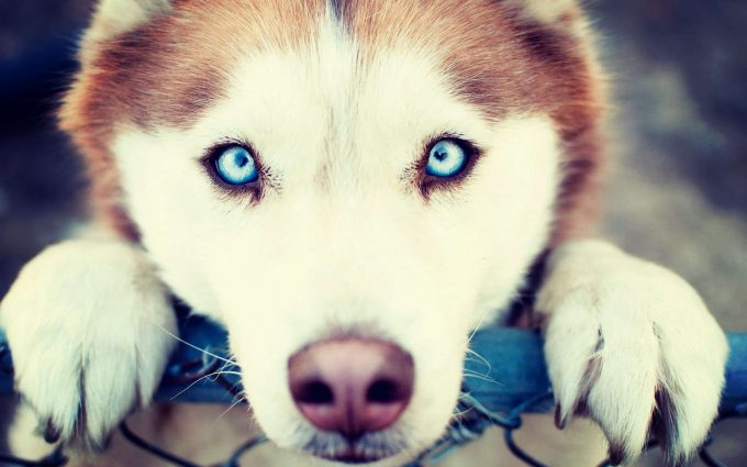 husky breed wallpaper