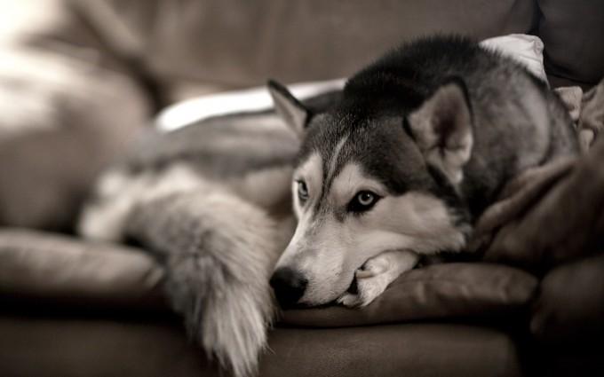 husky dog images