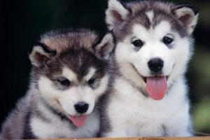 husky puppies cute