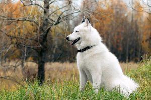 husky wallpaper 1080p