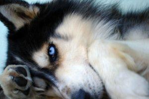 husky wallpaper breed