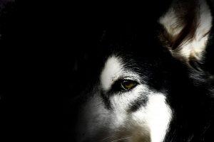 husky wallpaper download