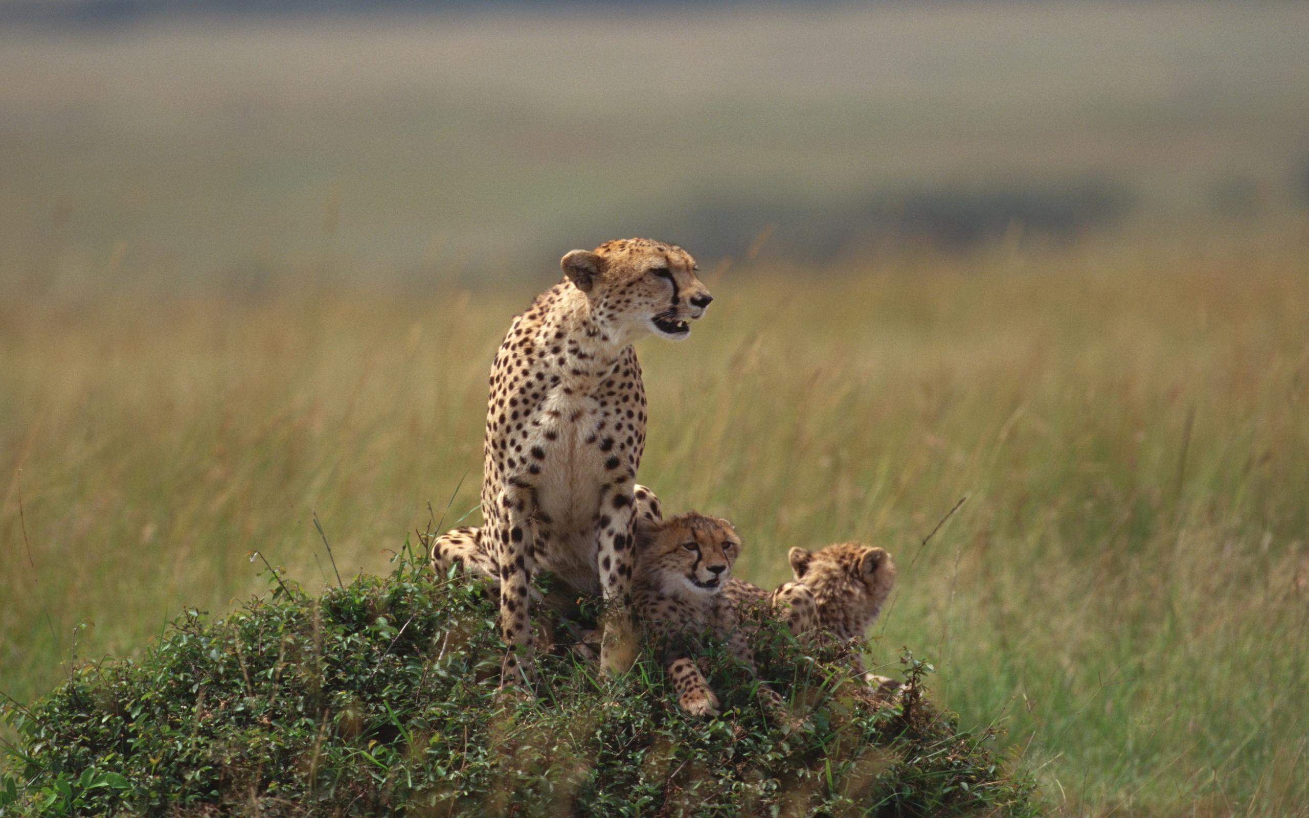 image cheetah