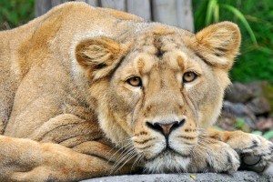 image of a lioness