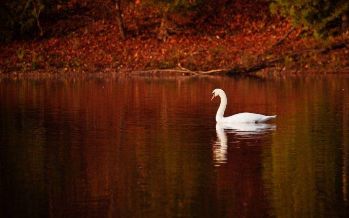 image of swan