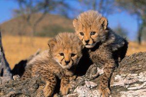 images cheetah