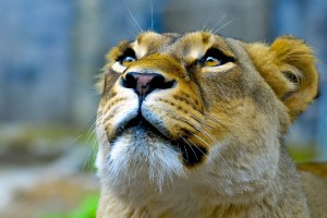 images of a lioness hd
