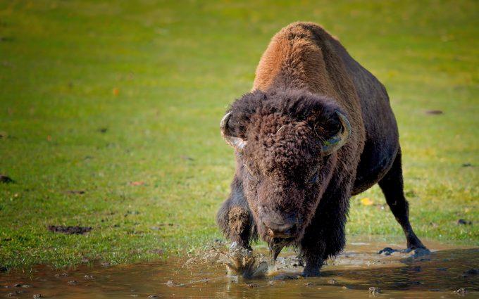 images of bison