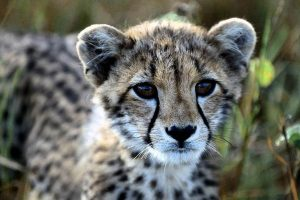 images of cheetahs