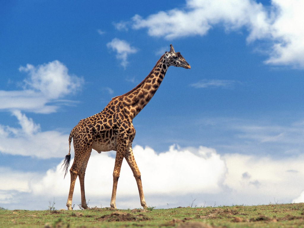 images of giraff