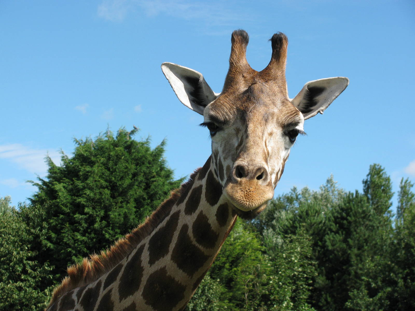 images of giraffes