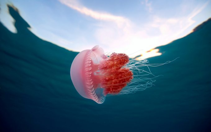 images of jelly fish
