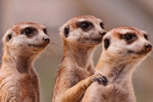 images of meerkats