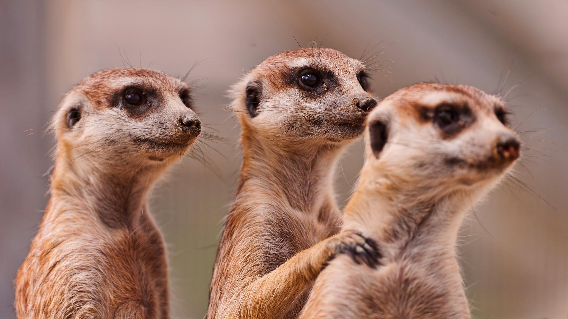 images of meerkats