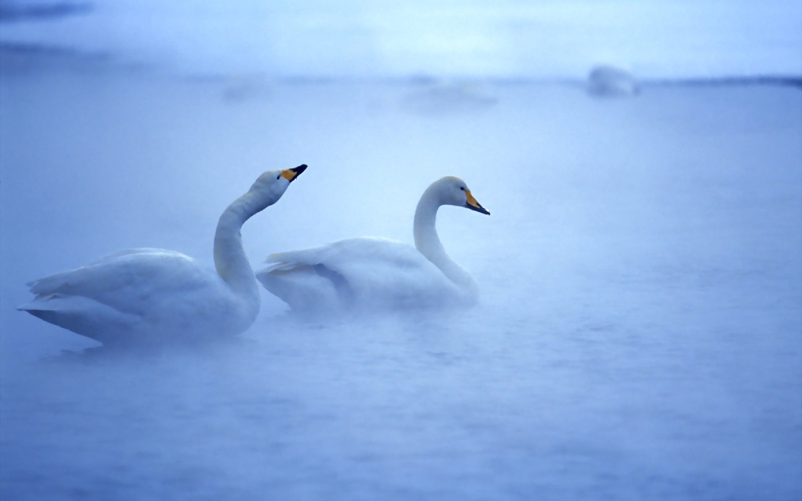 images of swans
