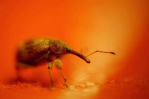 insect beetle weevil