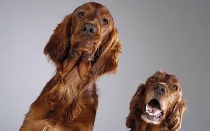 Close-up of two Cocker Spaniel's looking up