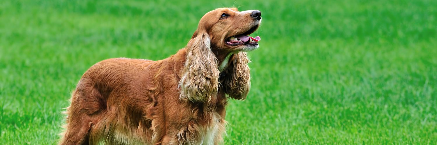 irish setters wallpaper download - photo #29