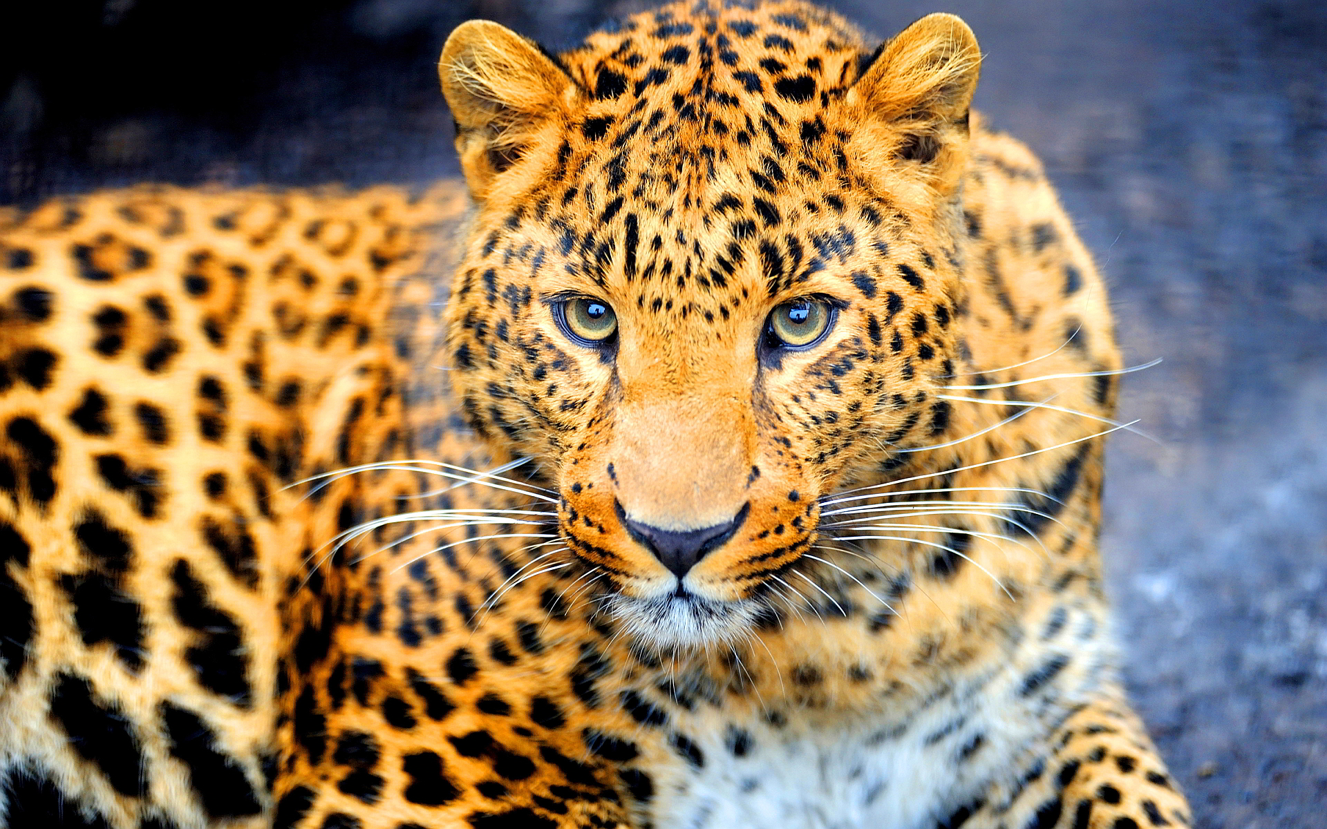 jaguar animal wallpaper
