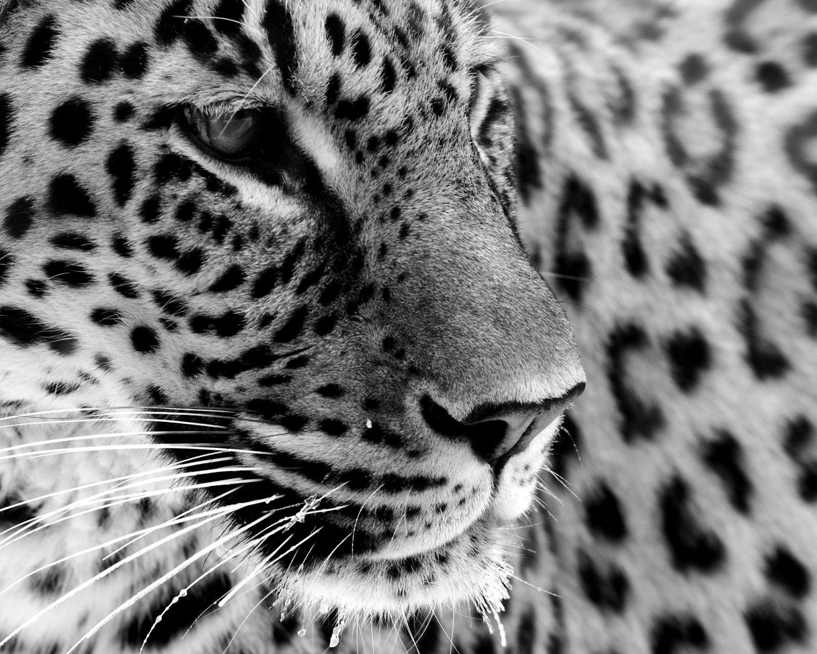 jaguar black white