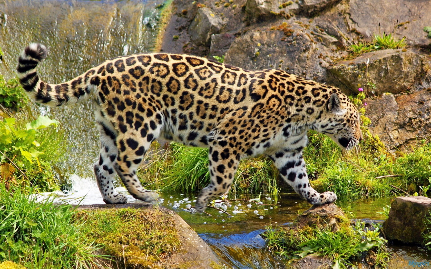 jaguar photo