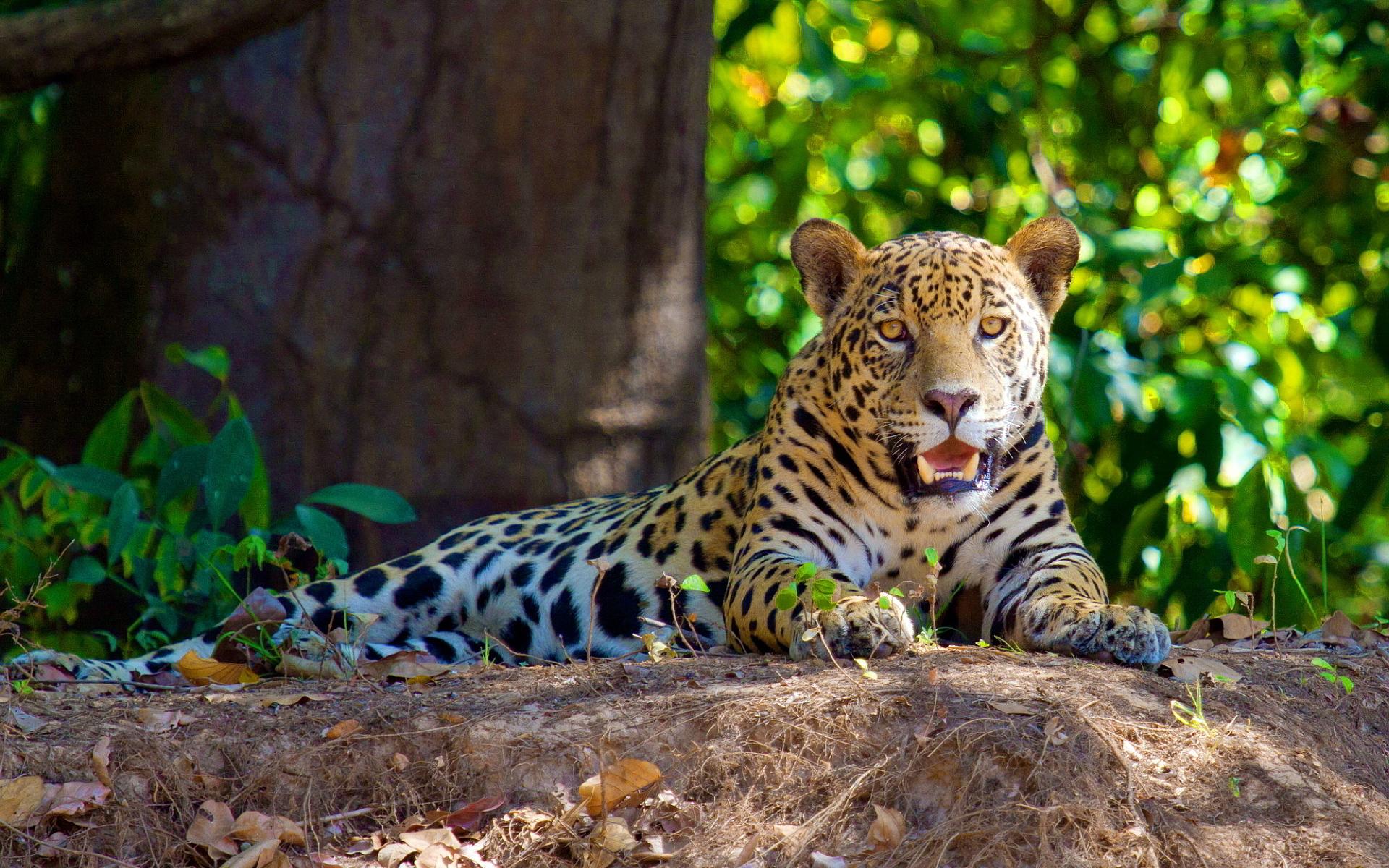 jaguar photos
