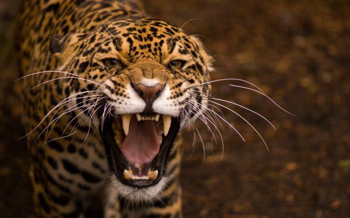 jaguar picture hd