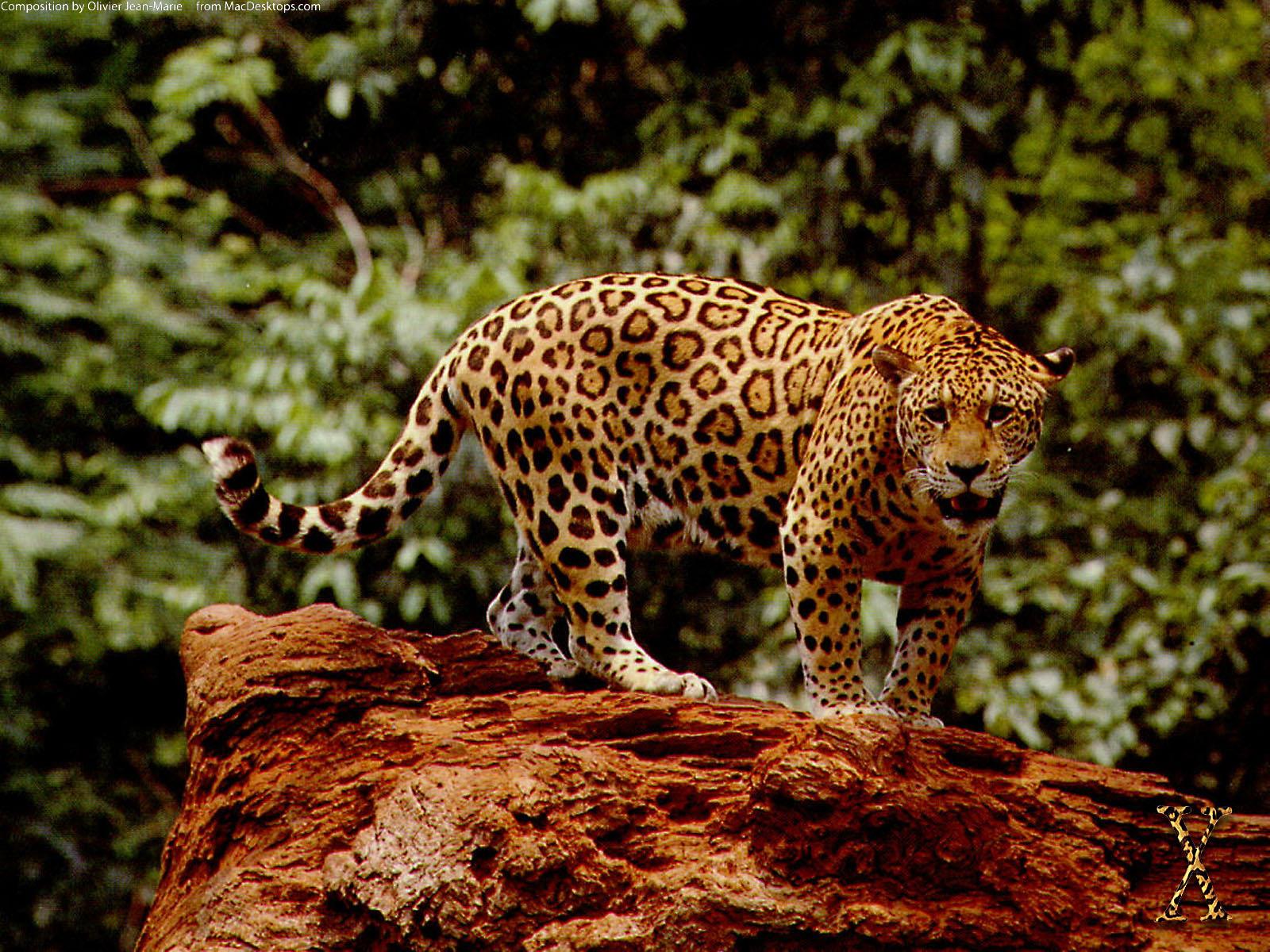 jaguar picture