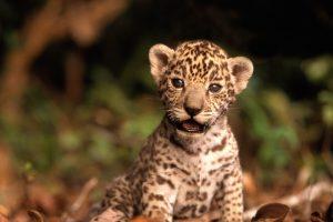 jaguar wallpaper A2