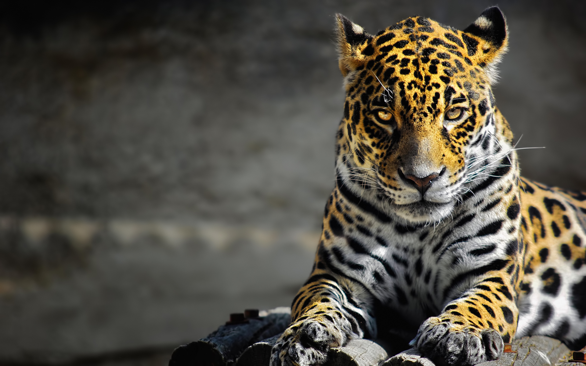 Animals Jaguars Wallpapers Hd Desktop And Mobile: Jaguar Wallpaper Animal - HD Desktop Wallpapers