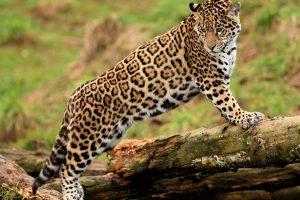 jaguar wallpaper beautiful