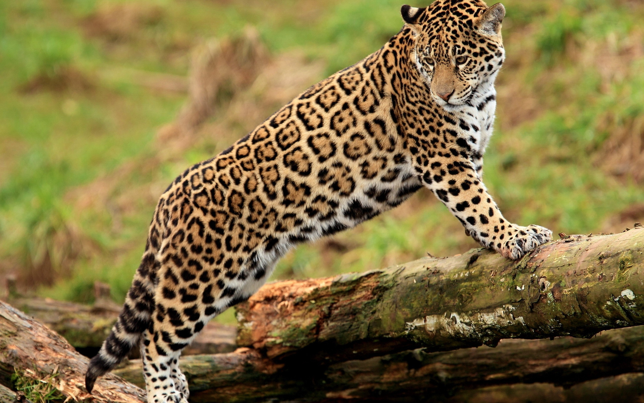 Animals Jaguars Wallpapers Hd Desktop And Mobile: Jaguar Wallpaper Beautiful - HD Desktop Wallpapers