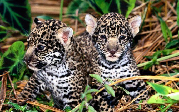 jaguar wallpaper cubs
