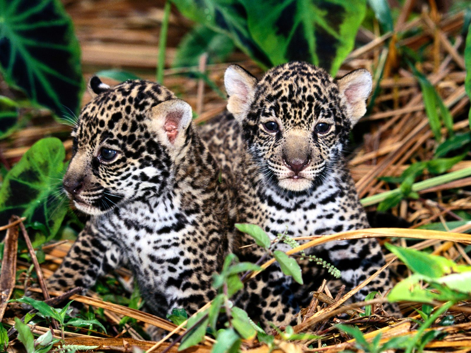 jaguar wallpaper cubs
