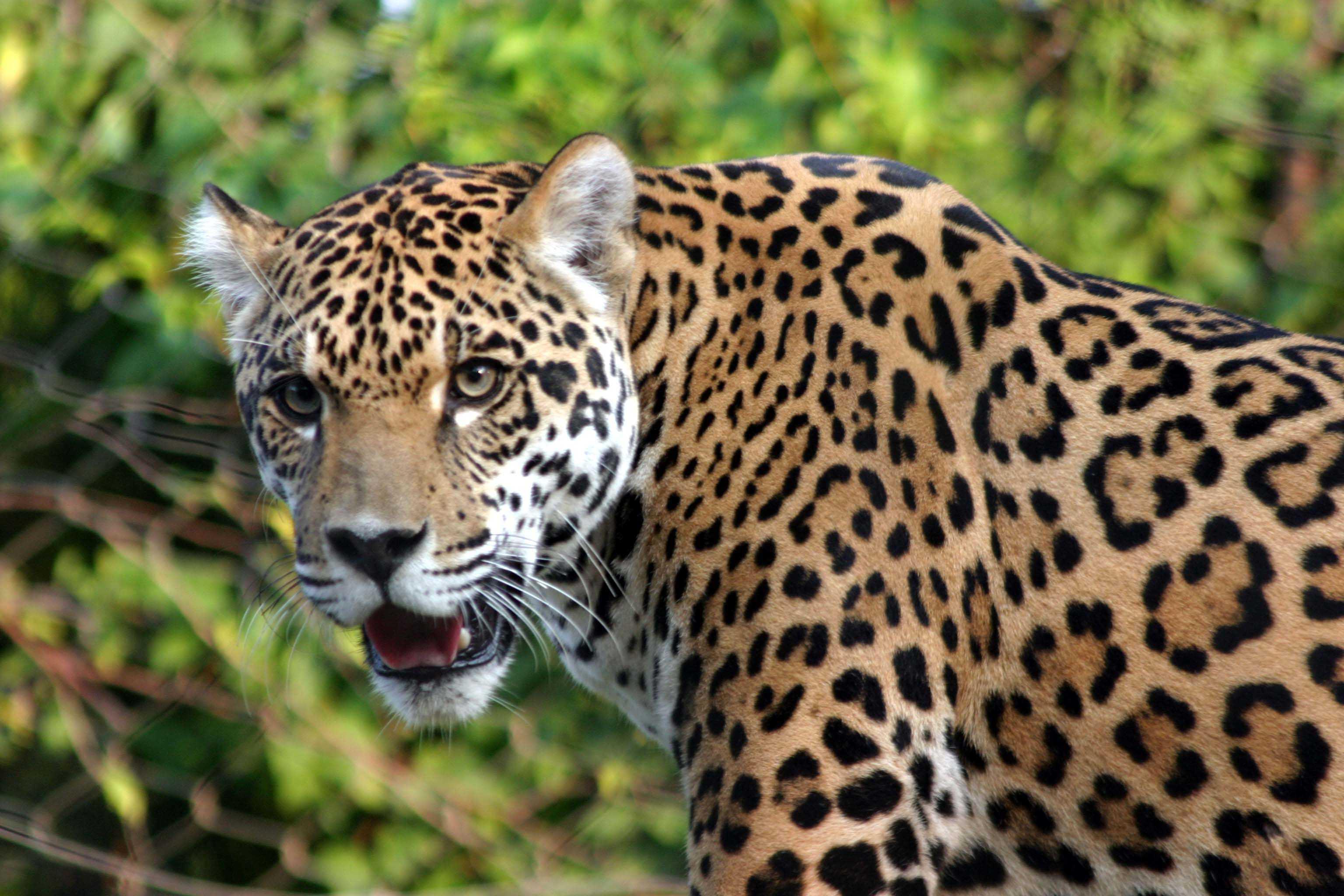 jaguar wallpaper download