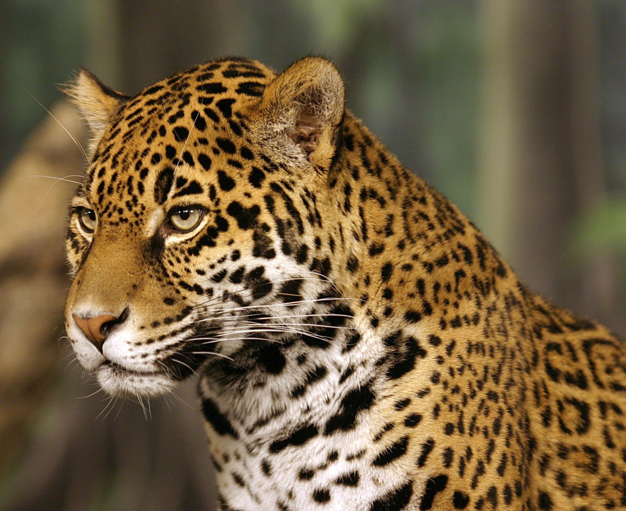 jaguar wallpaper hd