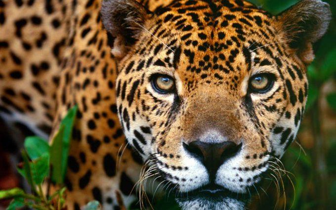 jaguar wallpaper nature