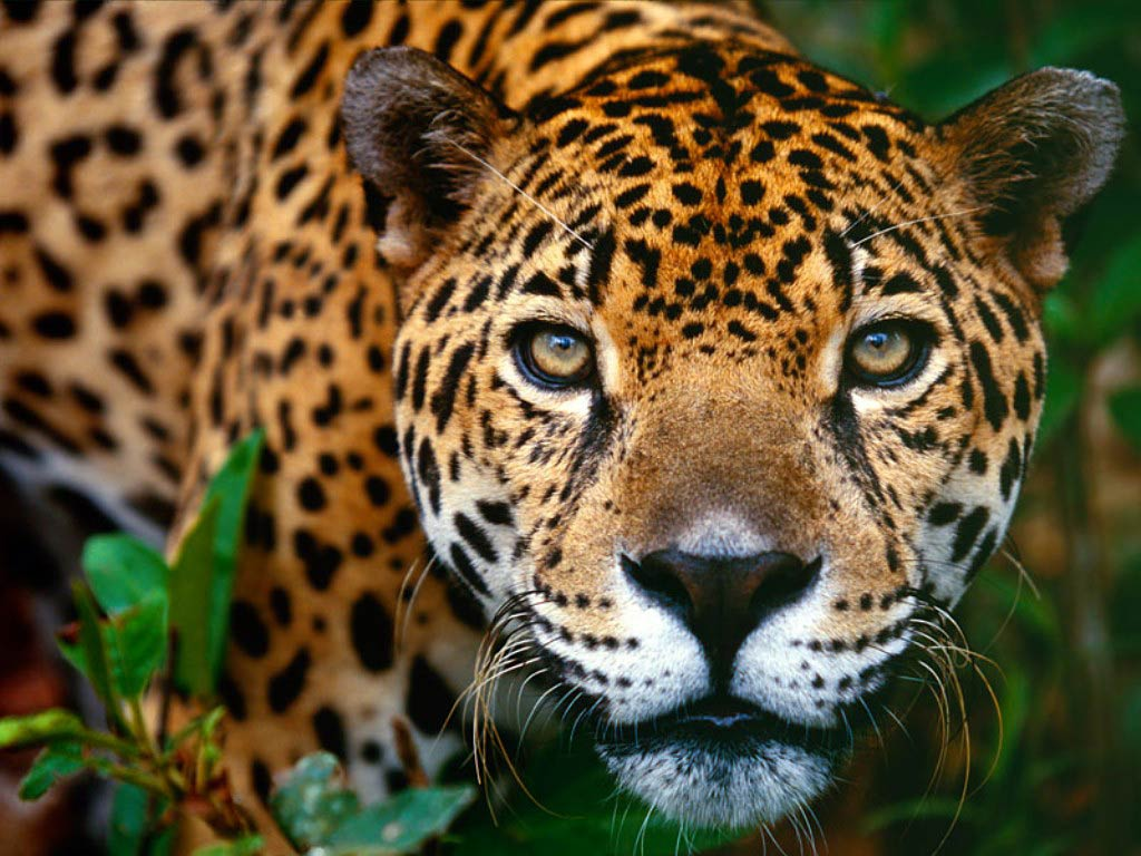 jaguar wallpaper nature