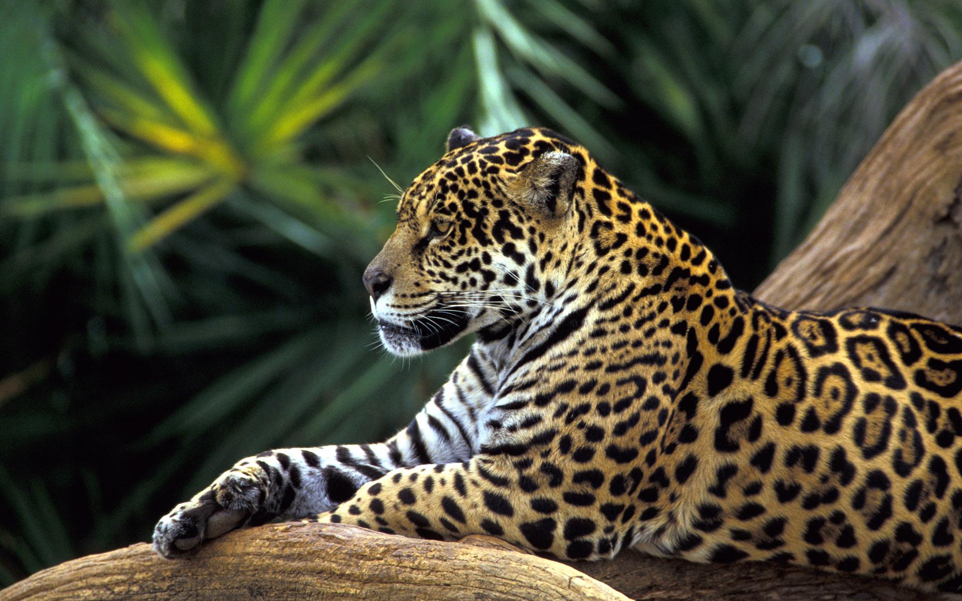 jaguar wallpaper rainforest