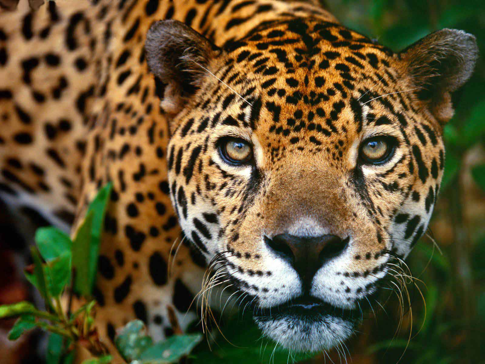jaguar wallpaper wild