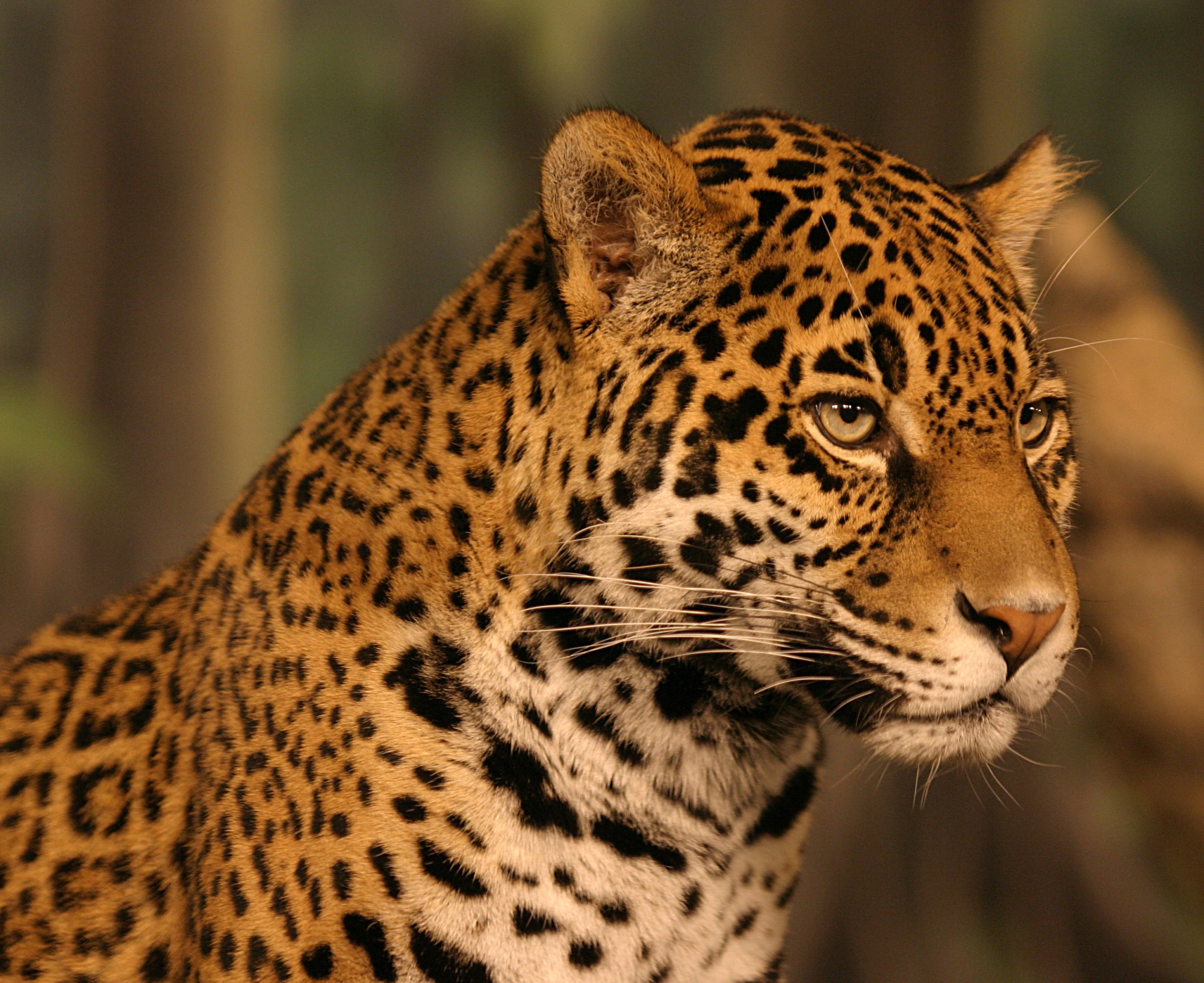 jaguar wallpapers hd