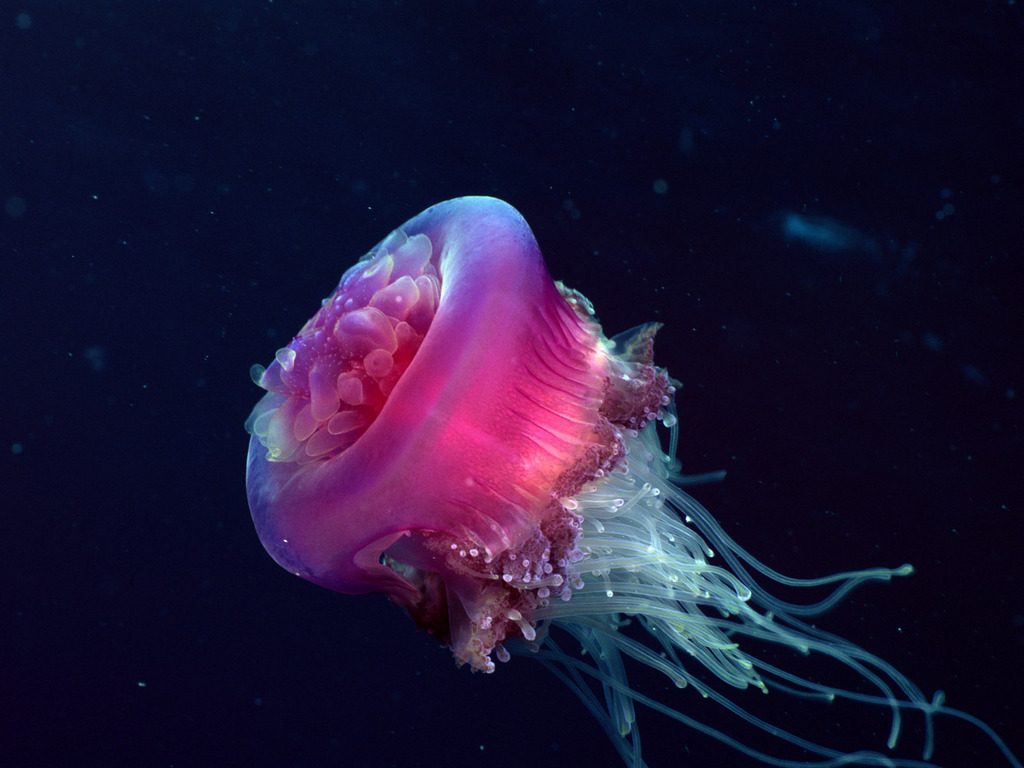 jelly fish images