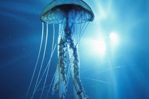 jellyfish wallpaper hd