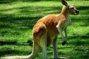 kangaroo beautiful hd