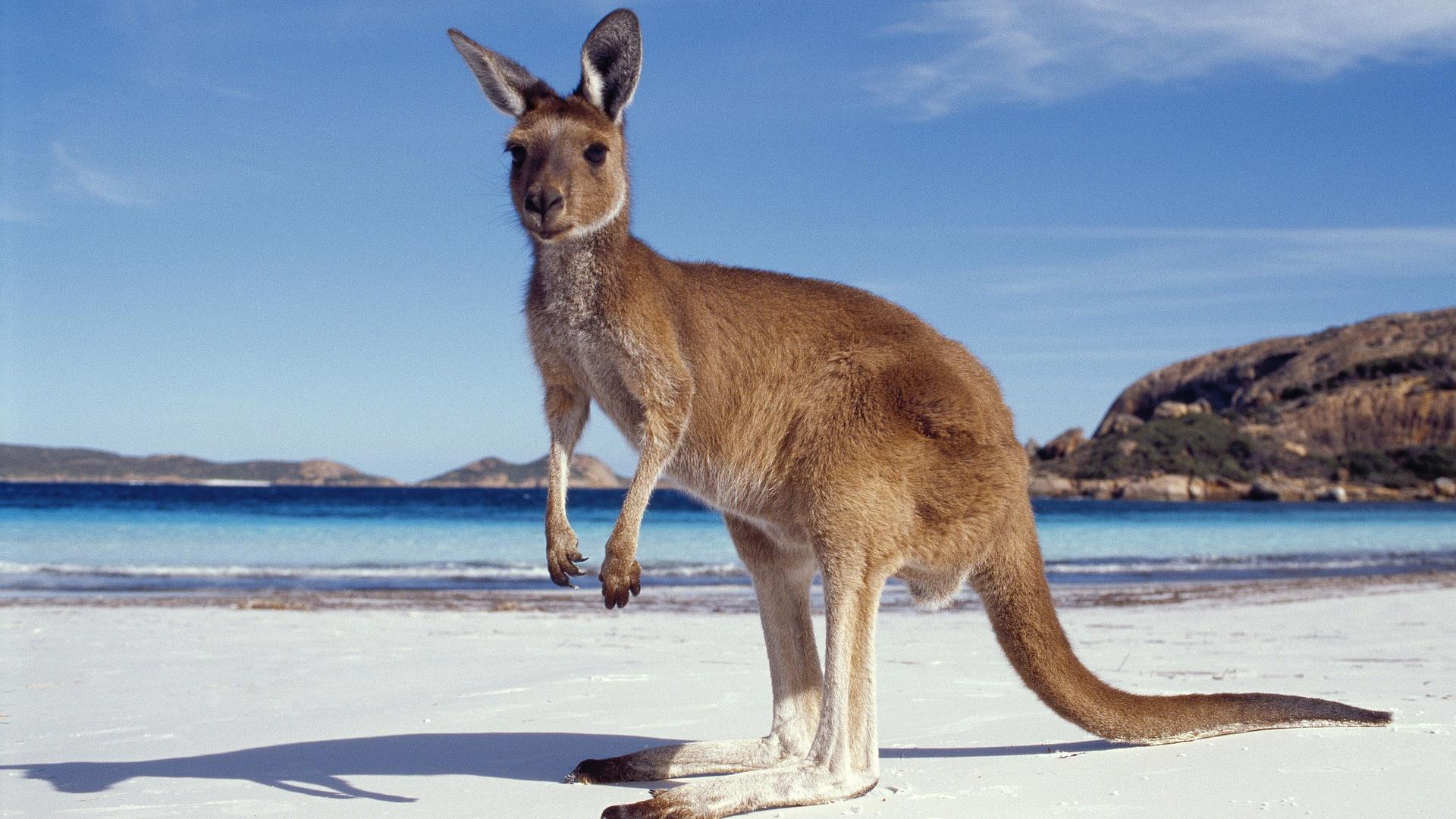 kangaroo images