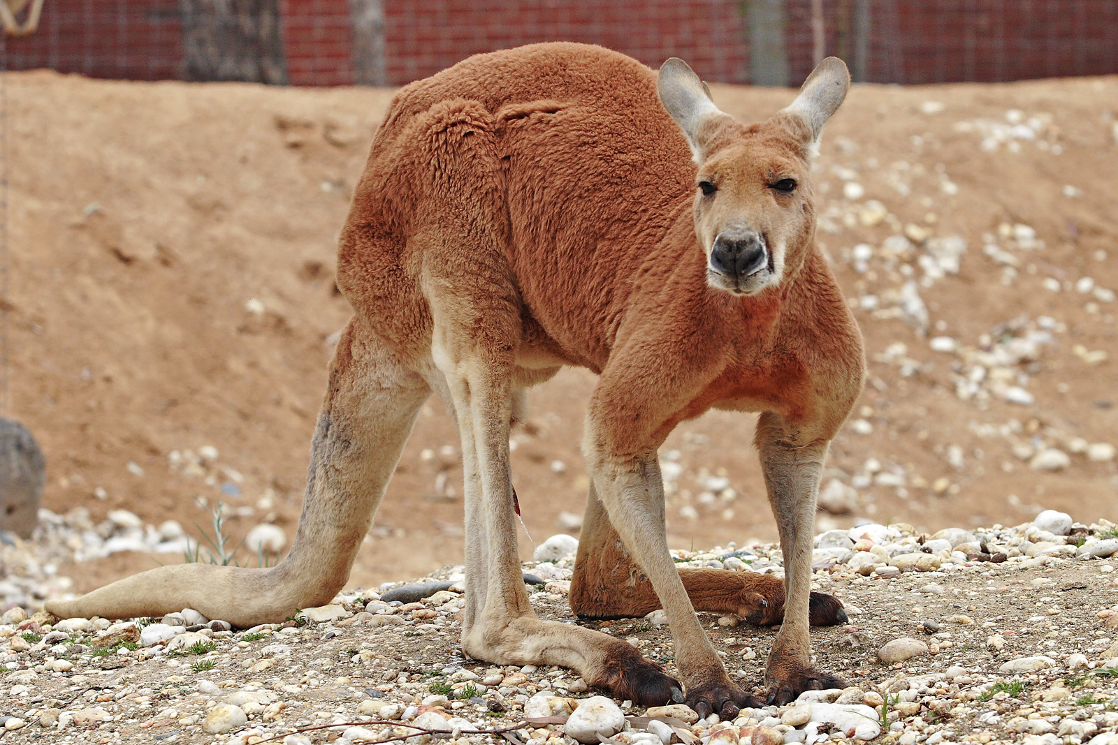 kangaroo lovely