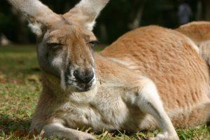 kangaroo wallpaper background